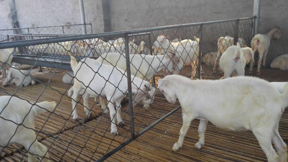 """为""""畜牧养殖龙头示范单位"""",养羊协会理事,徐州市**一家""""**重点种畜场""""图片"""