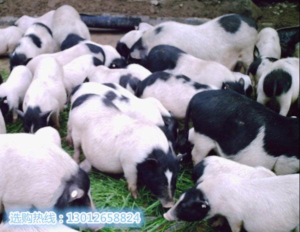 宝鸡巴马香猪养殖场出售巴马香猪