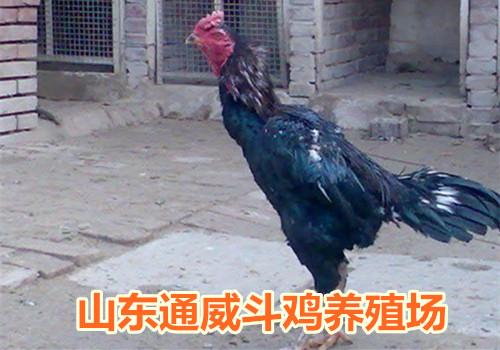 越南斗鸡去买羽毛球重心步伐图片