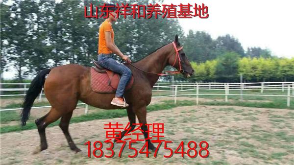 良种铁岭挽马的价格 一匹铁岭挽马多少钱