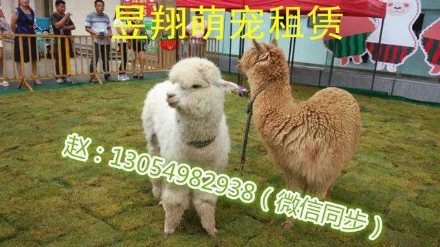 茂名羊驼出租*动物展览*马戏团表演*