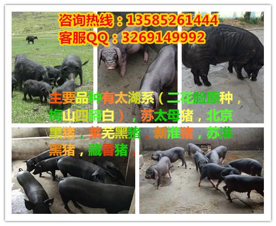太湖三白是什么_四脚白母猪黑猪猪场是什么价格__金农网金农网