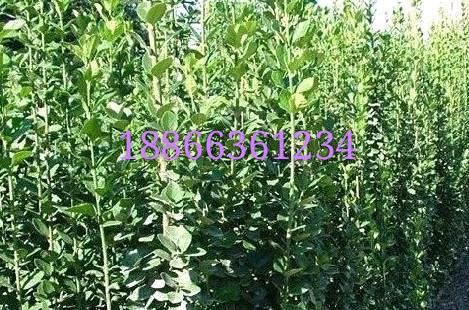 北海道黄杨种植基地|北海道黄杨基地基地|北海道黄杨绿篱