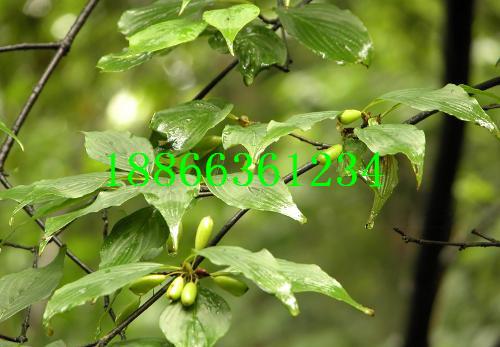 榆树柳树桃树