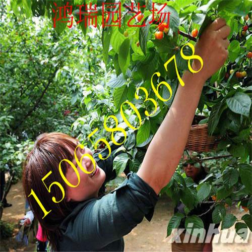 小樱桃树苗大地红樱桃苗图片
