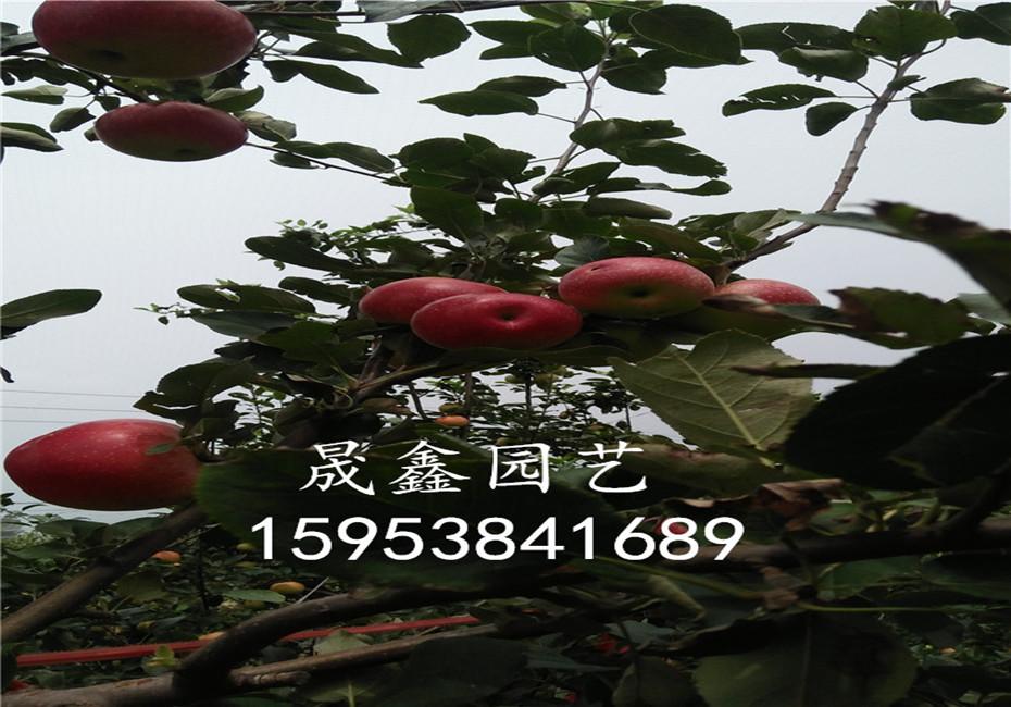 红肉苹果树苗报价