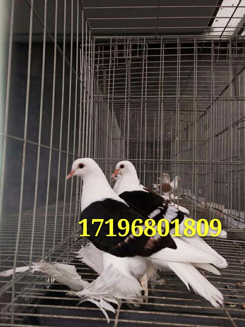 葫芦岛观赏鸽图片黄凤尾鸽图片价格马甲芙蓉鸽图片