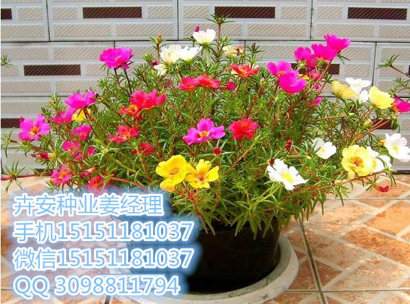 阿散井莓花