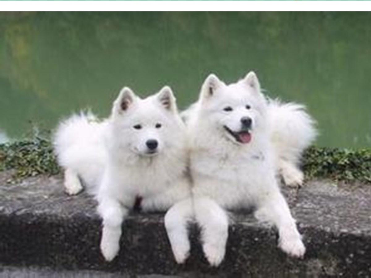 小萨摩犬哪里有卖的萨摩犬价格耳朵结实而厚;直立;三角形且尖端略圆