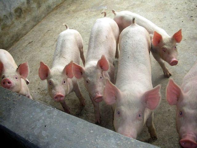 光盘手工制作大全动物猪