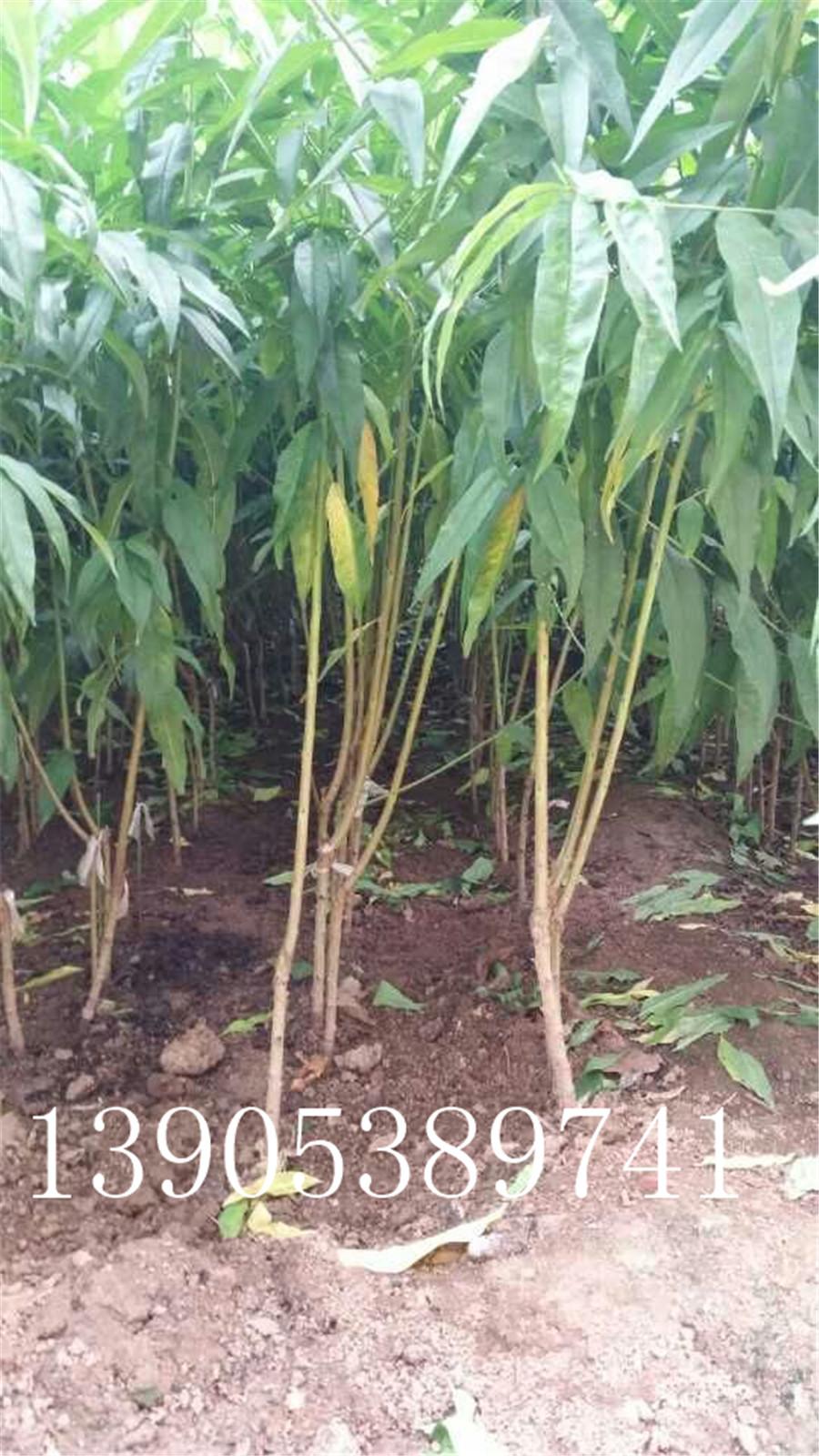 3,4,5公分红蜜桃桃树苗哪里有,映霜红桃树苗价格